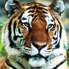 TigerSGT