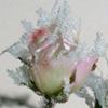 Crystal_Rose